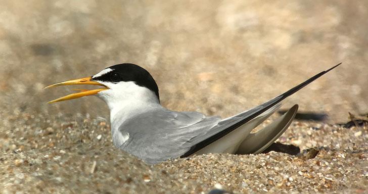 Least Tern Nesting
