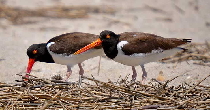 Pair of Oystercatchers